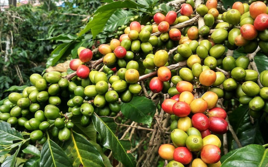 coffee-Arabica-pianta