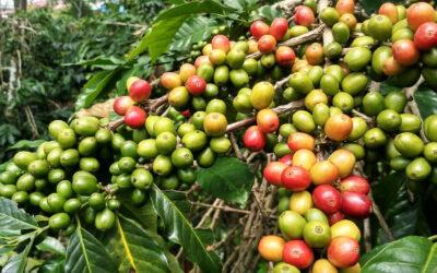 le proprietà del caffè Arabica