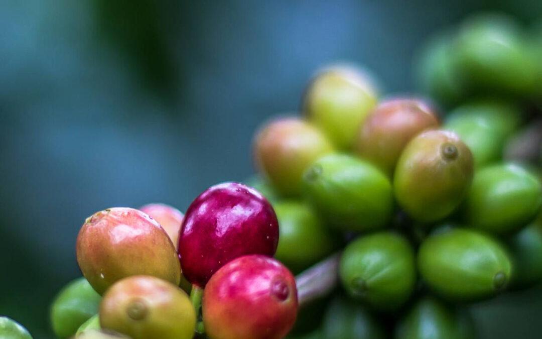 Coffee-Honduras