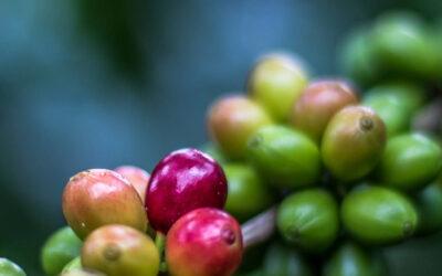 Cosa Rende Speciale IL CAFFE' DI HONDURAS ?